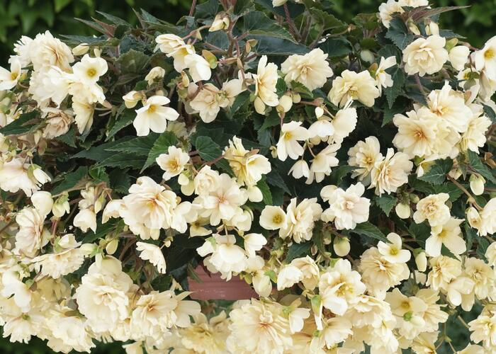 Begónie hlíznatá 'Belina Creme' - Begonia tuberhybrida 'Belina Creme'