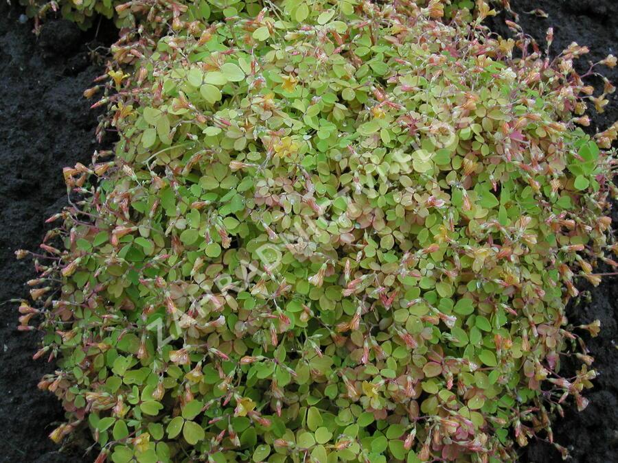 Šťavel 'Burgundy' - Oxalis vulcanicola 'Burgundy'