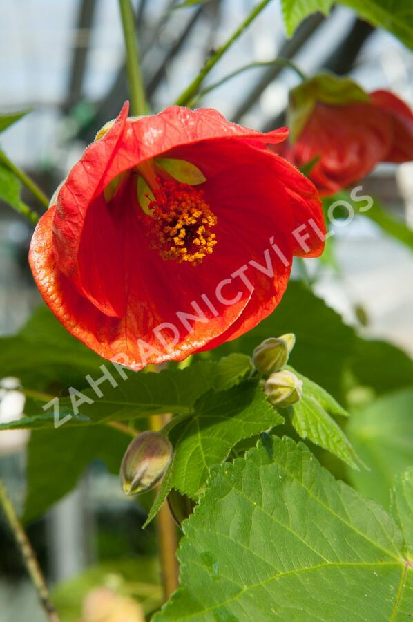 Mračňák 'Red Orange' - Abutilon hybridus 'Red Orange'