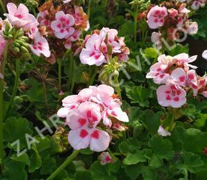 Muškát, pelargonie vonná 'Pino' - Pelargonium odoratissimum 'Pino'