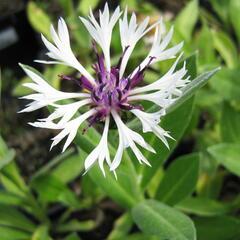Chrpa horská 'Amethyst in Snow' - Centaurea montana 'Amethyst in Snow'