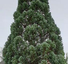 Sekvojovec obrovský 'Glaucum' - Sequoiadendron giganteum 'Glaucum'