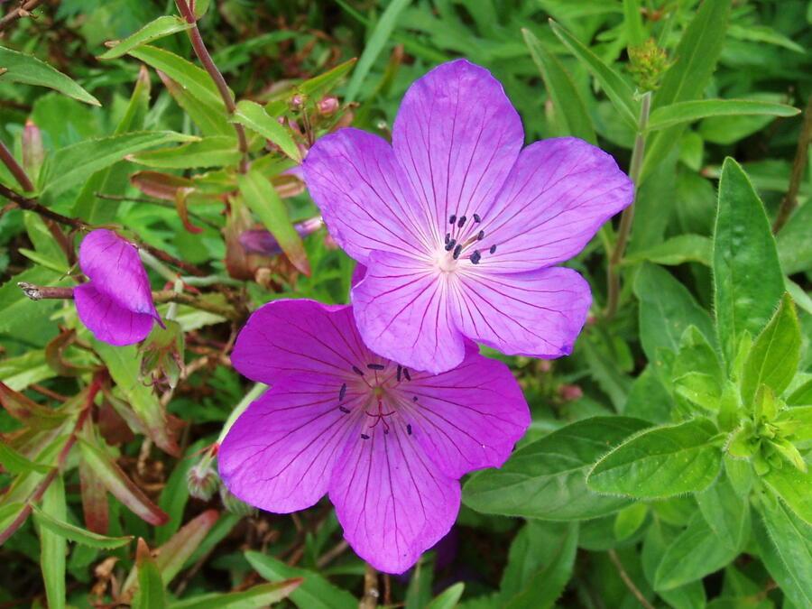 Kakost 'Kashmir Purple' 2 - Geranium clarkei 'Kashmir Purple' 2