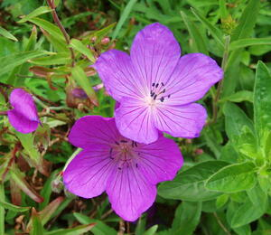 Kakost 'Kashmir Purple' ' - Geranium clarkei 'Kashmir Purple' 2