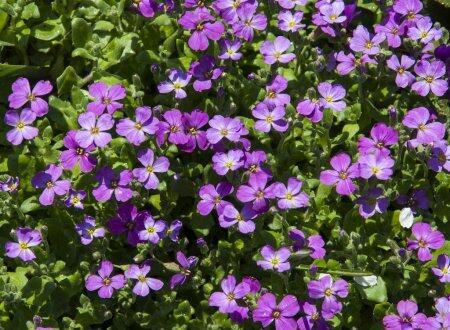 Bakopa 'Bola Lavender' - Sutera diffusus 'Bola Lavender'