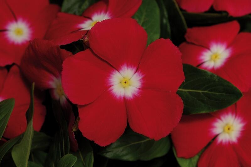 Barvínkovec růžový 'Volante Red Halo' - Catharanthus roseus 'Volante Red Halo'
