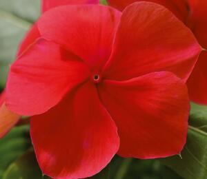 Barvínkovec růžový 'Volante Dark Red' - Catharanthus roseus 'Volante Dark Red'