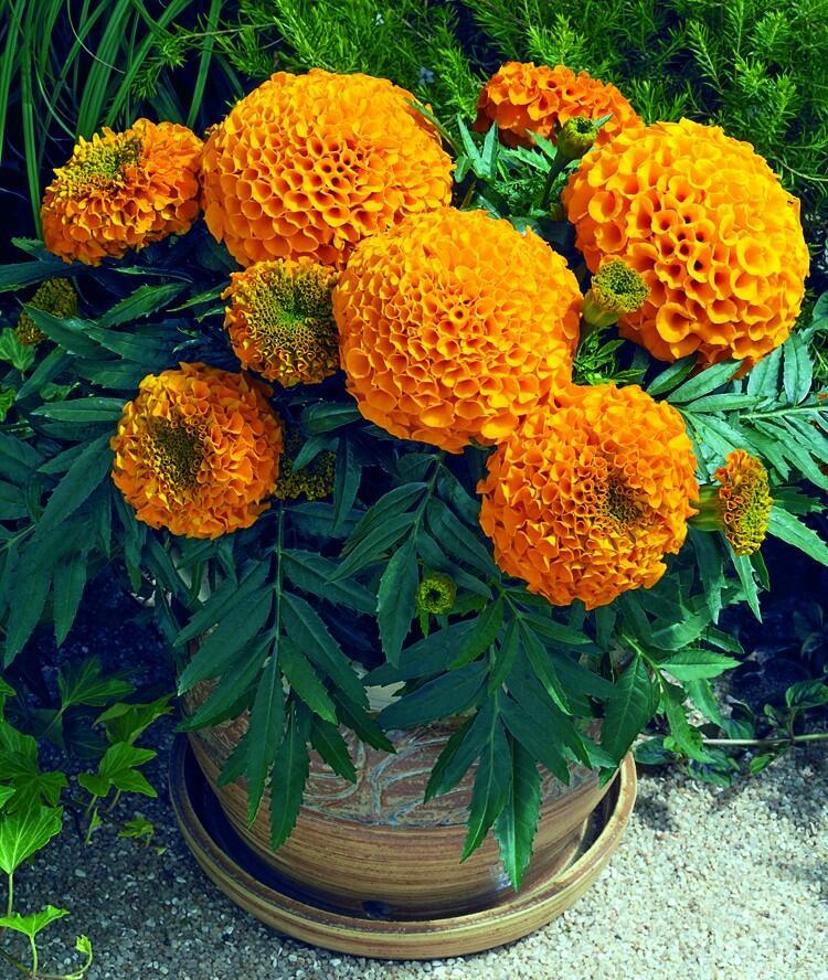 Aksamitník vzpřímený, afrikán 'Antigua Orange' - Tagetes erecta 'Antigua Orange'