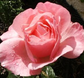Růže velkokvětá 'Eifel Tower' - Rosa VK 'Eifel Tower'