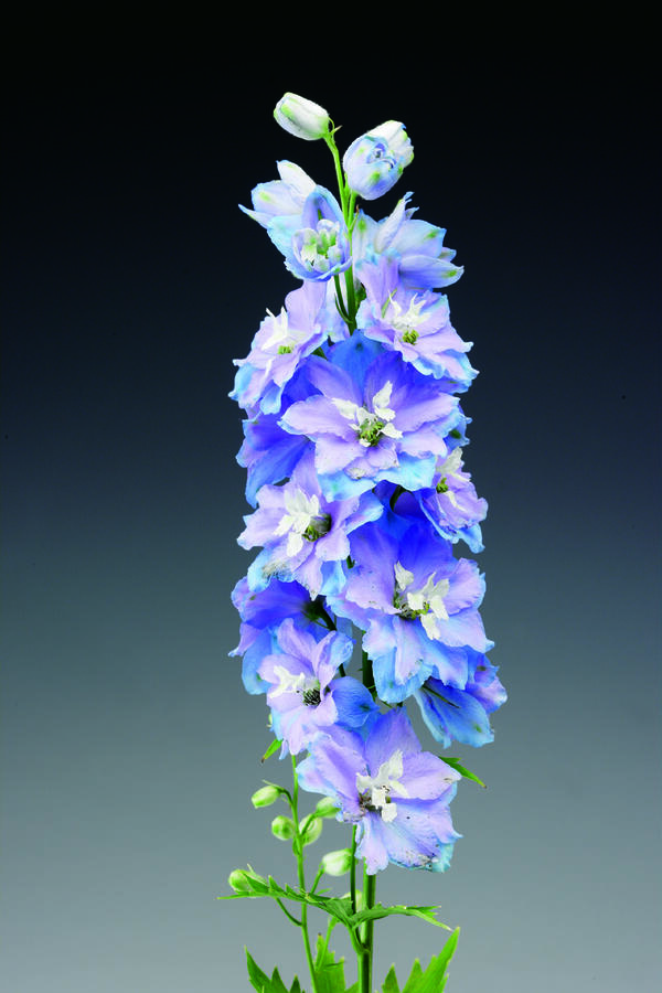 Ostrožka 'Excalibur Light Blue with White Bee' - Delphinium x cult. 'Excalibur Light Blue with White Bee'