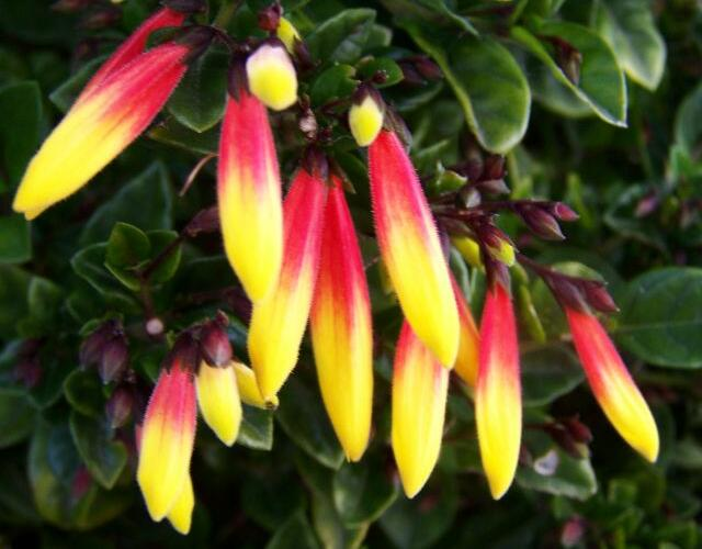 Jakobínie - Jacobinia pauciflora