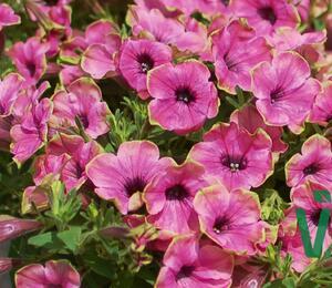 Petúnie 'Cascadias Pitaya' - Petunia hybrida 'Cascadias Pitaya'