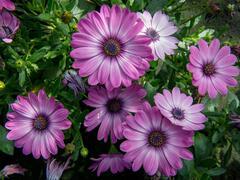 Dvoutvárka 'Erato Basket Rose Bicolor' - Osteospermum ecklonis 'Erato Basket Rose Bicolor'