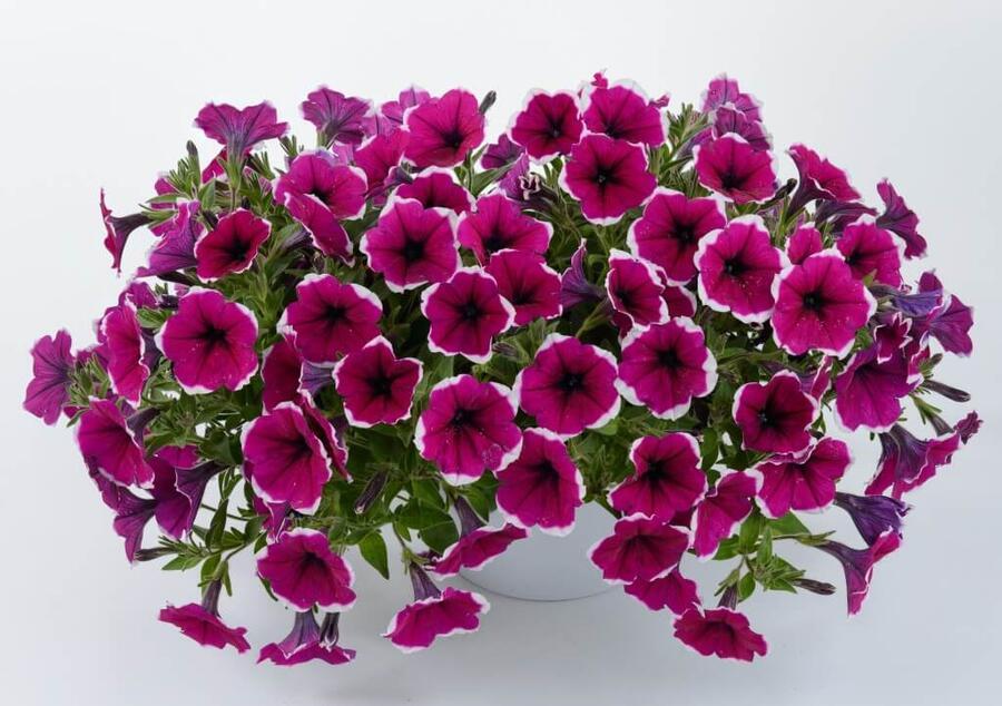 Petúnie 'Cascadias Rim Cherry' - Petunia hybrida 'Cascadias Rim Cherry'