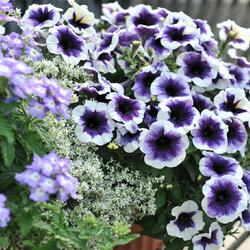 Petúnie 'Plus Purple Halo' - Petunia hybrida 'Plus Purple Halo'
