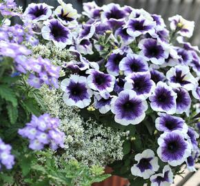 Petúnie 'Plus Purple Halo' - Petunia hybrida 'Plus Purple Halo'