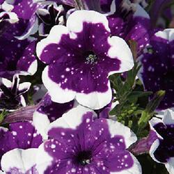 Petúnie 'Glacier Sky' - Petunia hybrida 'Glacier Sky'