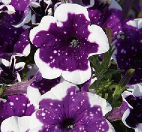 Petúnie 'Surprise Sparkling Purple' - Petunia hybrida 'Surprise Sparkling Purple'
