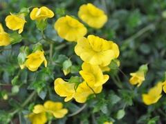 Mekardonie 'Aurita' - Mecardonia x hybrida 'Aurita'