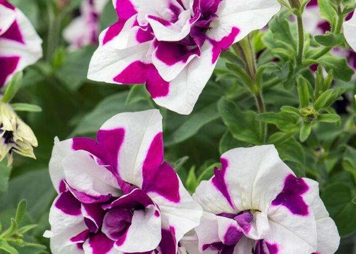Petúnie 'Tumbelina Damson Ripple' - Petunia hybrida Pegasus 'Tumbelina Damson Ripple'