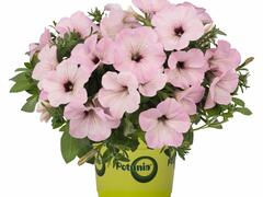Petúnie 'Plus Vintage' - Petunia hybrida 'Plus Vintage'