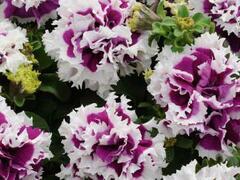 Petúnie velkokvětá 'Duplika Purple Picotee' - Petunia grandiflora 'Duplika Purple Picotee'