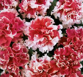 Petúnie velkokvětá 'Duplika Red Picotee' - Petunia grandiflora 'Duplika Red Picotee'