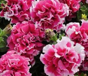 Petúnie velkokvětá 'Duplika Rose Picotee' - Petunia grandiflora 'Duplika Rose Picotee'
