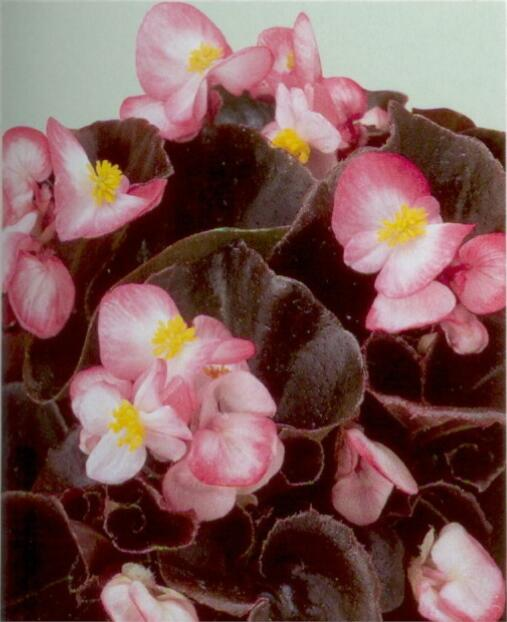 Begónie stálokvětá, ledovka, voskovka 'Marsala Bicolor' - Begonia semperflorens 'Marsala Bicolor'
