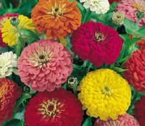 Ostálka profusion 'Columbus Mix' - Zinnia profusion 'Columbus Mix'