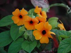 Smatavka, thunbergie křídlatá 'Red Orange' - Thunbergia alata 'Red Orange'