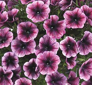 Petúnie 'Cascadias Purple Ice' - Petunia hybrida 'Cascadias Purple Ice'