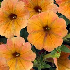 Petúnie 'Cascadias Indian Summer' - Petunia hybrida 'Cascadias Indian Summer'