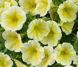 Petúnie 'Ray Sunshine' - Petunia hybrida 'Ray Sunshine'
