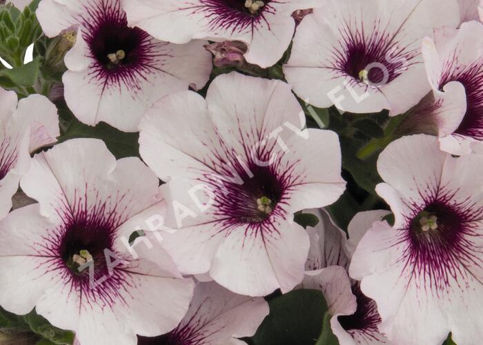 Petúnie 'Surprise White Orchid' - Petunia hybrida 'Surprise White Orchid'