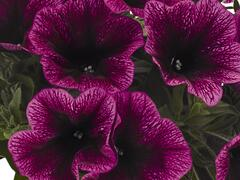 Petúnie 'Sweetunia Purple Gem' - Petunia hybrida 'Sweetunia Purple Gem'