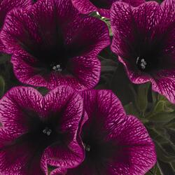 Petúnie 'Sweetunia Purple Gem' - Petunia hybrida 'Sweetunia Purple Gem'