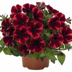 Petúnie 'Sweetunia Fiona Flash' - Petunia hybrida 'Sweetunia Fiona Flash'