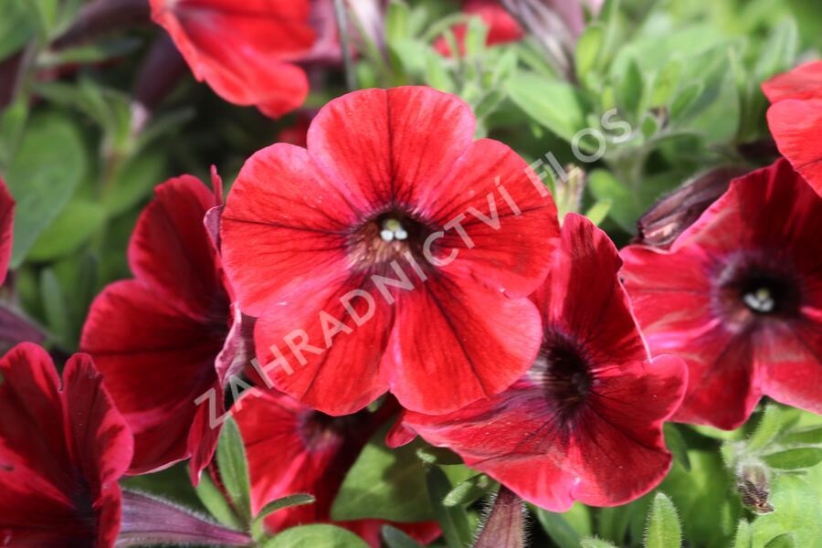 Petúnie 'Sweetunia Fiona Flash' - Petunia hybrida 'Sweetunia Fiona Flash'