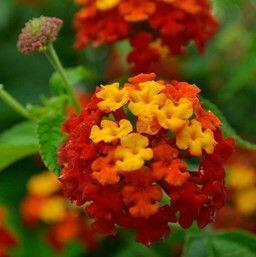 Libora měňavá 'Evita Power Red' - Lantana camara 'Evita Power Red'