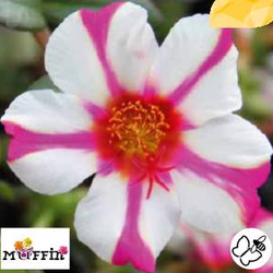 Šrucha 'Muffin Rose & White' - Portulaca umbraticola 'Muffin Rose & White'