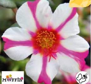 Šrucha 'Muffin Rose & White' - Portulaca umbraticola 'Muffin Rose & White'