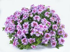 Verbena, sporýš 'Vanessa Bicolor Purple' - Verbena hybrida 'Vanessa Bicolor Purple'