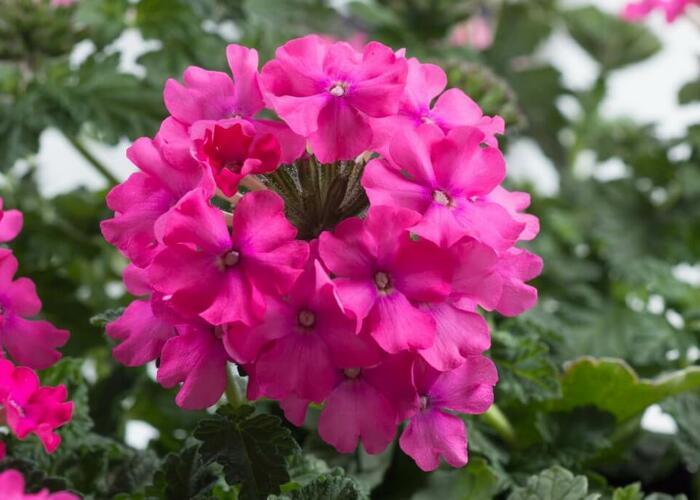 Verbena, sporýš 'Vanessa Compact Deep Pink' - Verbena hybrida 'Vanessa Compact Deep Pink'