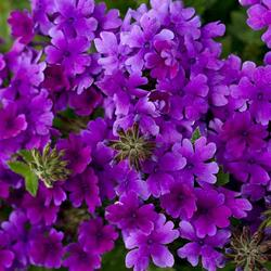 Verbena, sporýš 'Summerdreams Deep Blue' - Verbena hybrida 'Summerdreams Deep Blue'