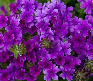Verbena, sporýš 'Summerdreams Deep Blue' - Verbena hybrida 'Summerdreams Deep Blue'