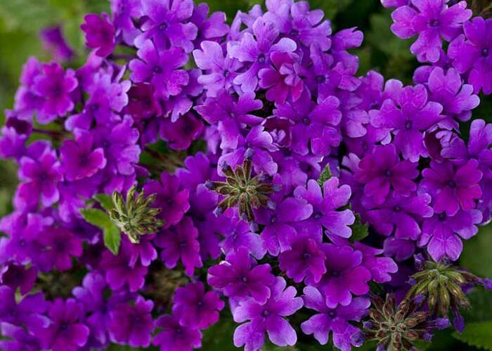 Verbena, sporýš 'Summer Dreams Deep Blue' - Verbena hybrida 'Summer Dreams Deep Blue'