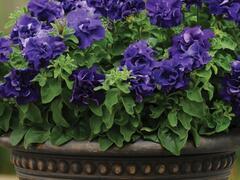 Petúnie velkokvětá 'Duplika Blue' - Petunia grandiflora 'Duplika Blue'