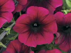 Petúnie velkokvětá 'Duplika Burgundy' - Petunia grandiflora 'Duplika Burgundy'