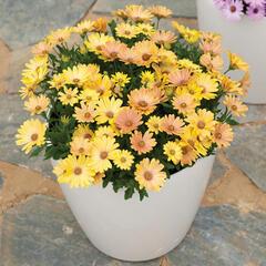 Dvoutvárka 'Cape Daisy Magic Sunrise' - Osteospermum ecklonis 'Cape Daisy Magic Sunrise'